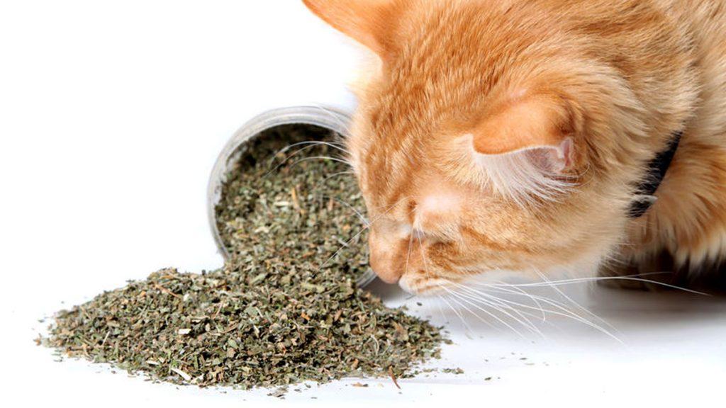 Cat sniffing catnip