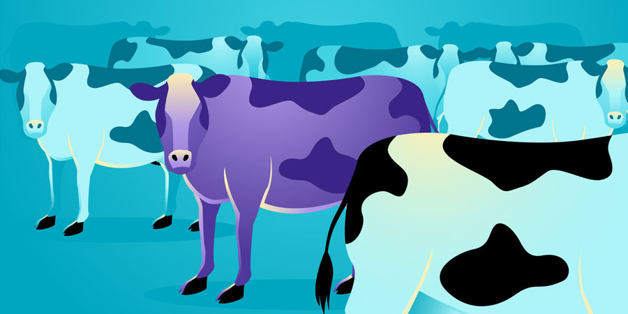 A purple cow standing out in a field of other cows.