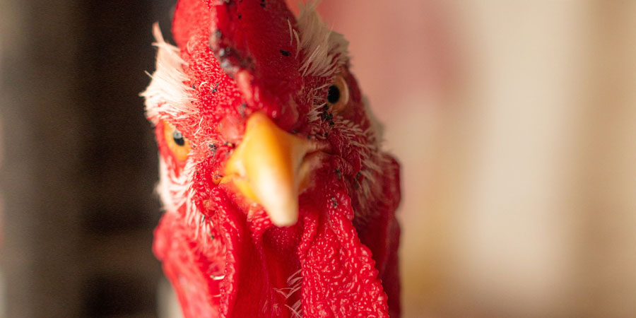 Close up of a rooster
